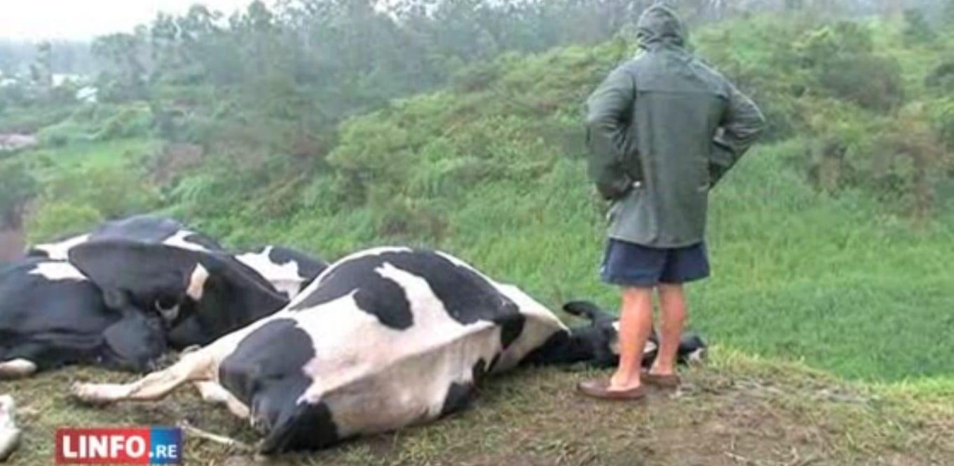 Insolite : La foudre tue trente vaches à La Réunion