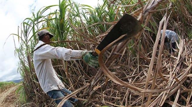 Planteurs de canne: Prix garanti de Rs 25 000 la tonne de sucre pour ceux produisant jusqu'à 60T