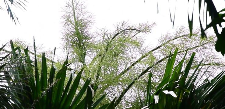 [Vidéo] Un talipot en fleurs au jardin de Pamplemousses