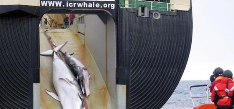 Le Japon veut reprendre la pêche commerciale de la baleine