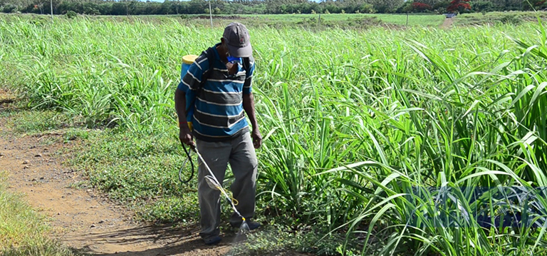 [Vidéo] La lente agonie des petits planteurs de canne à sucre