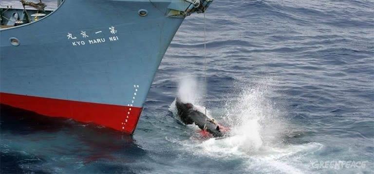 Le Japon annonce sa décision de reprendre la chasse à la baleine