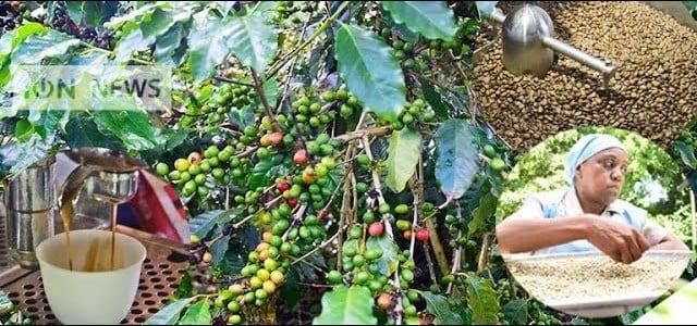 [Vidéo] De la plante à la tasse : le parcours du café Chamarel