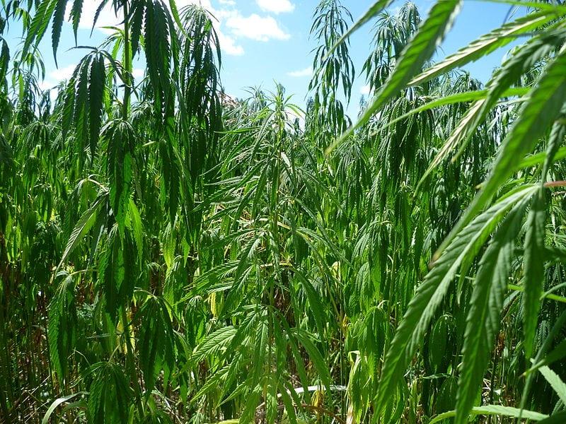 Bois-d'Oiseaux : 575 plantes de cannabis arrachées