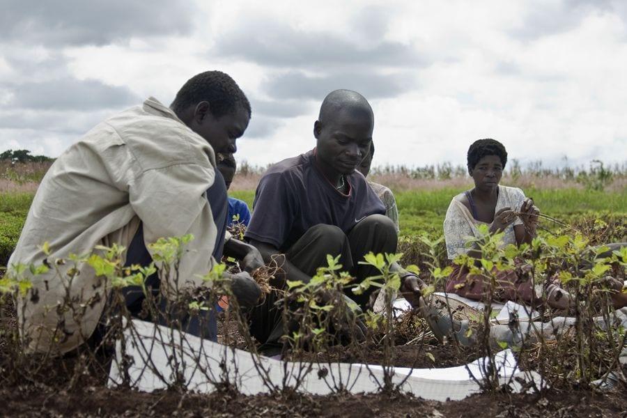 La culture et la vente du cannabis dépénalisées au Malawi
