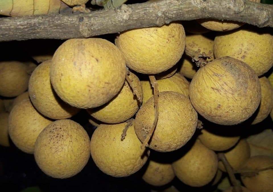 Des longanes à Rs 600 le kilo