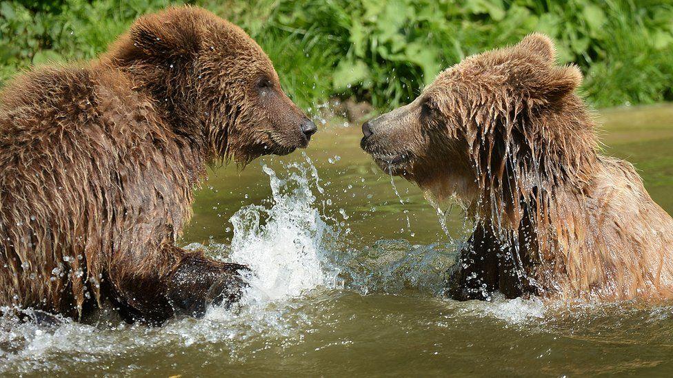Deux ours tués par balles après s'être échappés d'un zoo