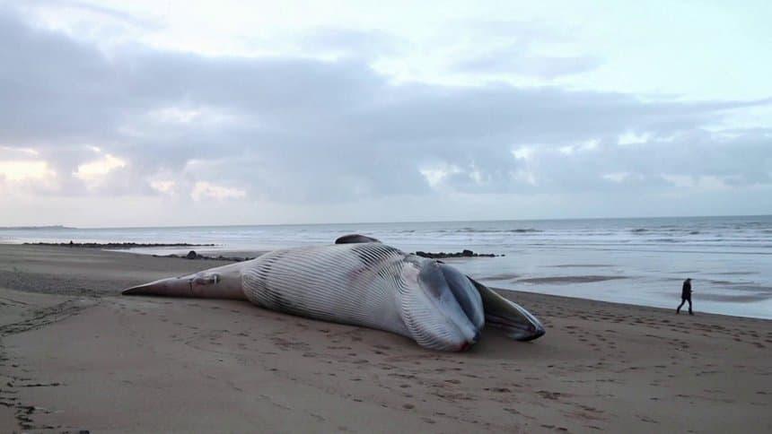 Landes : Une baleine retrouvée morte avec 16 kilos de plastique dans l'estomac