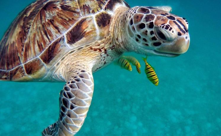 Journée mondiale de la tortue : Une espèce en voie de disparition