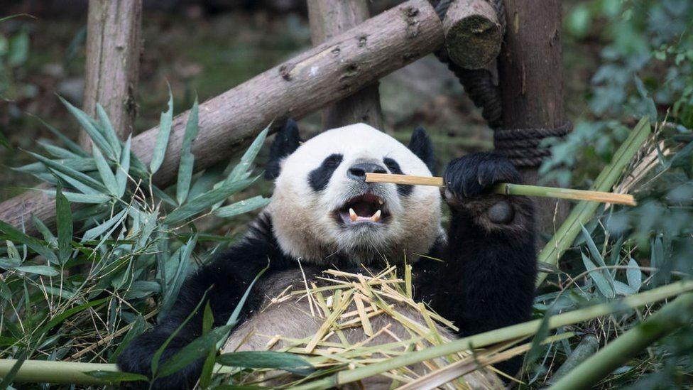 Les pandas géants ne sont plus en danger d'extinction mais toujours vulnérables