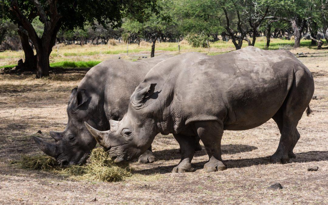 Journée mondiale du rhinocéros : Casela met l'accent sur l'importance de préserver les rhinocéros blancs du Sud