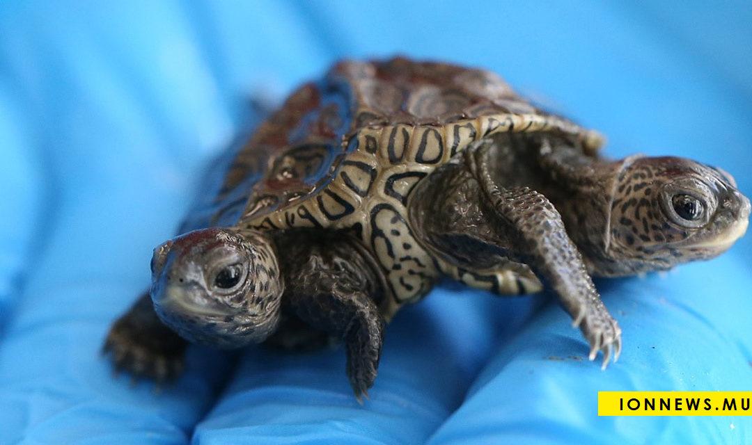 Insolite : Naissance d'une tortue à deux têtes aux États-Unis